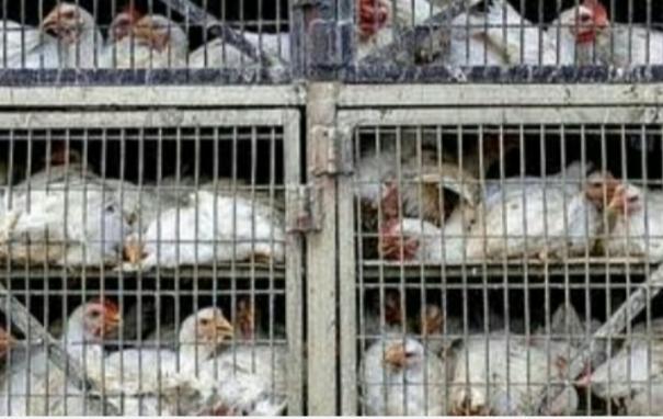 tn-animal-husbandry-urges-people-to-eat-eggs-chicken