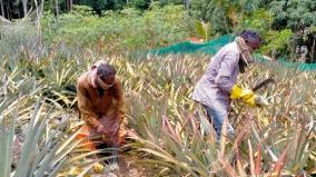 cash-crops-and-plantation-crop-farmers-feel-the-brunt-of-corona-curfew