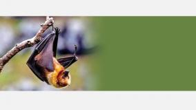why-bats-are-main-reason-for-virus