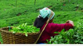 nilgiris-tea-estate-employees