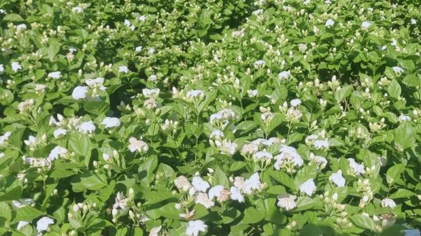 flower-farmers-affected-in-krishnagiri