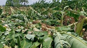 kovilpatti-1300-banana-trees-get-damaged-in-rain