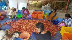 kodaikanal-plums-sale-ensured