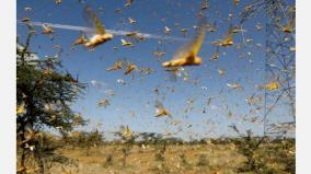 after-covid-19-india-s-next-challenge-could-be-mega-sized-locust-attack-this-summer