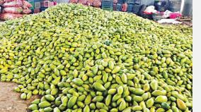 mangoes-fallen-from-trees