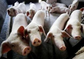 african-swine-flu-detected-in-india-2-500-pigs-killed-in-assam