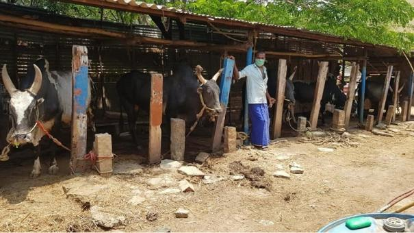 corona-curfew-jallikattu-bull-owners-find-it-difficult-to-feed-the-animals