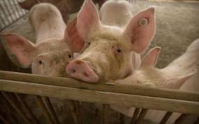 african-swine-fever-kills-over-13-000-pigs-in-assam