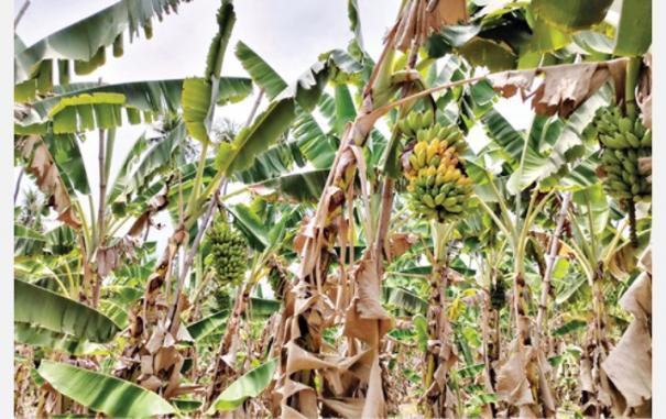 plantain-farmers