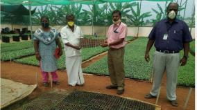 thuvarai-harvesting