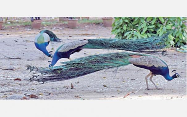 peacocks-in-thiruvannamalai