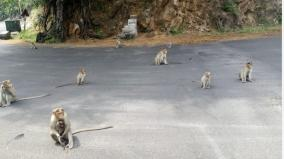 monkeys-fail-to-return-to-natural-life