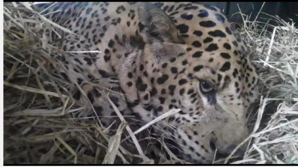 re-emergence-of-leopard-at-ooty-botanic-gardens-request-for-cage-capture