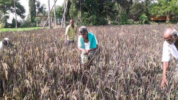 violet-color-paddy-in-puduchery