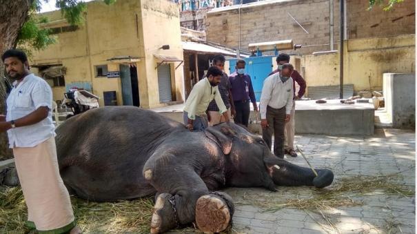 madurai-temple-elephants-checked-by-medicos