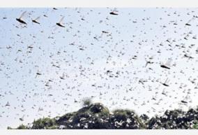 locust-swarm-in-tamilnadu