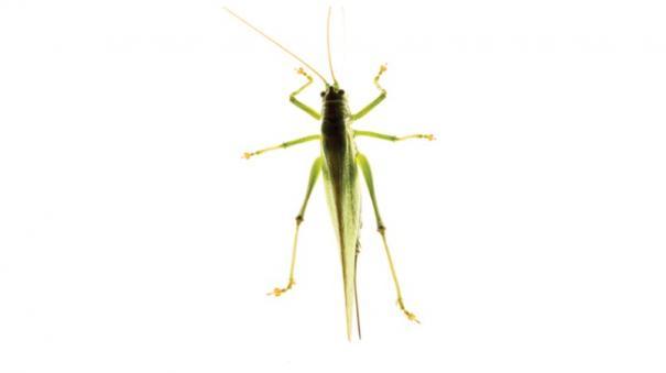 locust-attack-in-tn