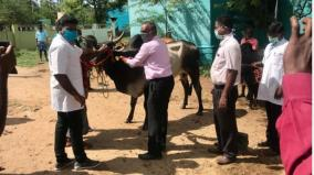 comari-vaccine-for-jallikattu-bulls-in-madurai