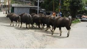 kodaikanal-wild-bulls-roam-in-main-roads