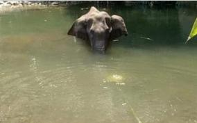 pregnant-elephant-death