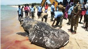 rare-species-of-shark-found-dead-near-rameswaram-sea-shore
