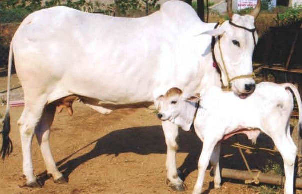 after-elephant-in-kerala-cow-fed-with-explosive-mixed-eatables-in-himachal-pradesh-one-arrested