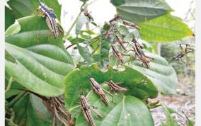 locust-attack-in-kollimalai