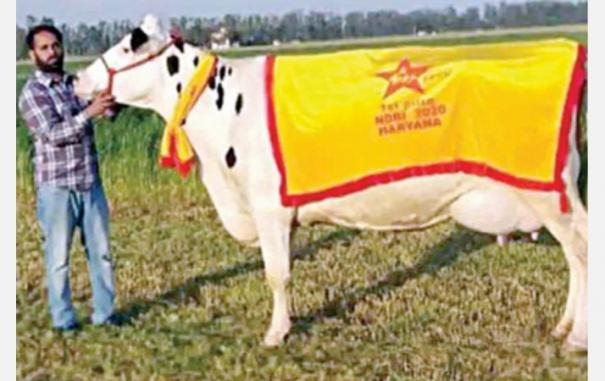 magical-cow-gives-76-kg-milk-per-day
