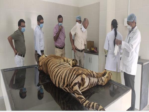 tiger-captured-after-killing-5-people-dies-at-nagpur-rescue-centre
