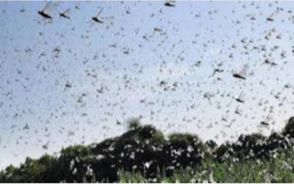 swarms-of-locusts-seen-in-areas