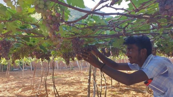 dindigul-grapes-farmers-face-the-brunt-of-corona-curfew