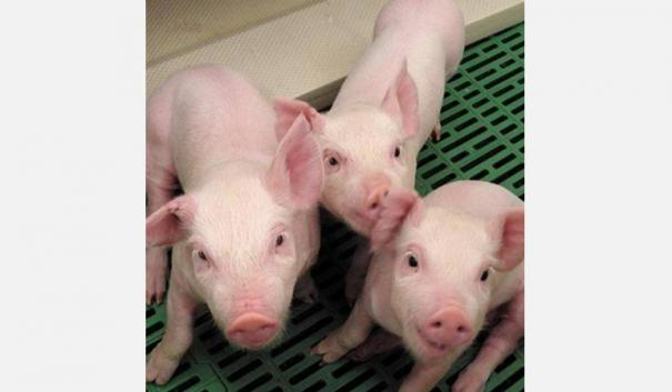 chinese-researchers-warn-of-new-virus-in-pigs-with-human-pandemic-risk