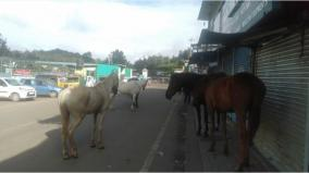 horses-wandering-in-the-cold-of-ooty-coronation-abandoned-by-hardship
