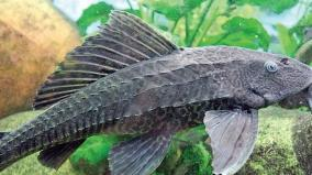 madurai-south-american-fishes-in-vaigai-river-destroy-the-native-breed