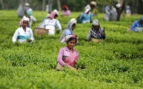 18-tea-estates-licence-cancelled