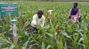 agriculture-official-advice-to-combat-pests-in-corn-crop