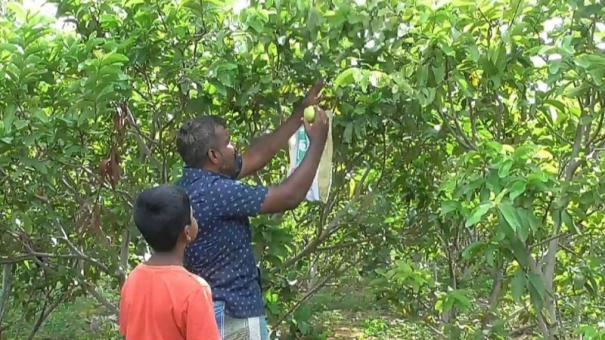 graduate-sells-guava-online-yields-good-response
