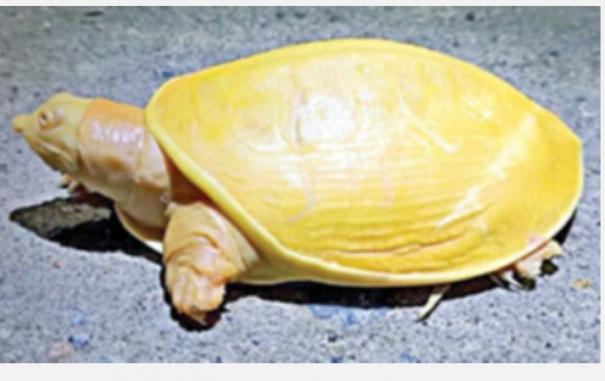 yellow-turtle-in-odisha