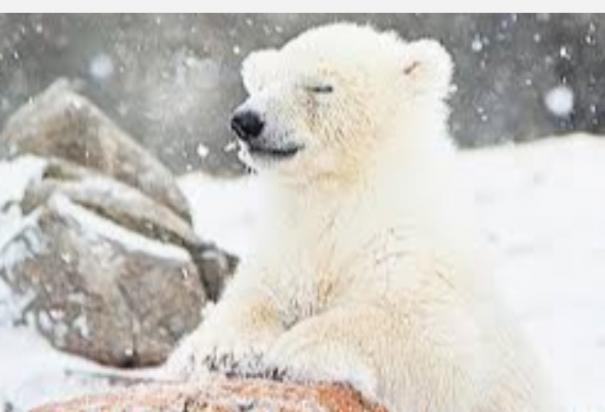 is-the-end-of-polar-bears-approaching-analysts-sound-the-alarm