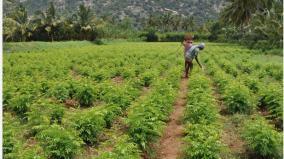 curry-leaves-are-priceless-during-the-corona-period-disturbed-karamadai-farmers