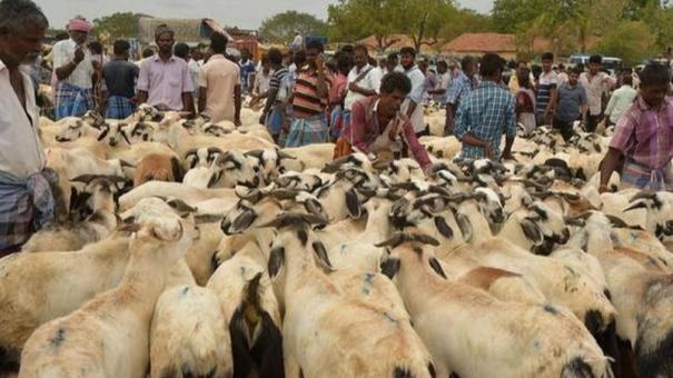 goats-price-soar-high-due-to-bakrid