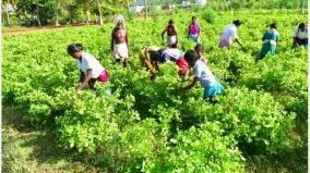 there-is-no-price-to-pay-even-if-plundered-jasmine-farmers-facing-government-relief