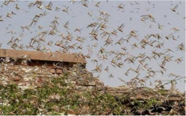 locusts-enter-border-areas