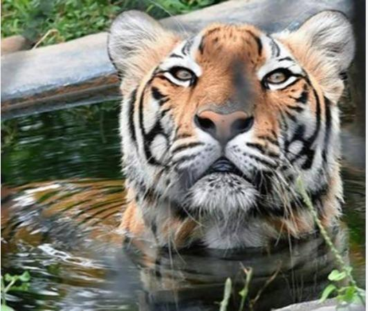 wildlife-activists-urges-to-protect-tigers