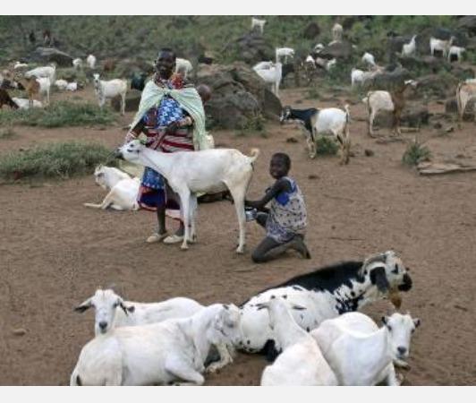 male-goat-produces-milk-due-to-hormonal-imbalances