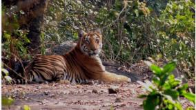 the-symbol-of-the-fertile-forest-is-the-tiger-the-life-chain-that-breaks-down-as-habitats-shrink