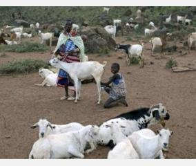 male-goat-produces-milk-due-to-hormonal-imbalances