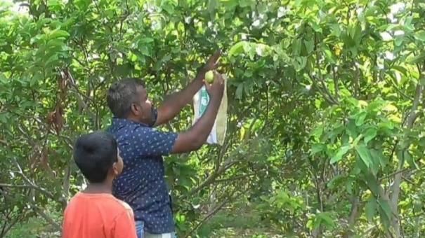 guava-growth-increases-horticulture-departments-advice-to-farmers