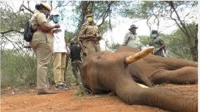 male-elephant-death-in-mettupalayam-nellimalai-is-it-the-cause-of-the-conflict-between-the-elephants