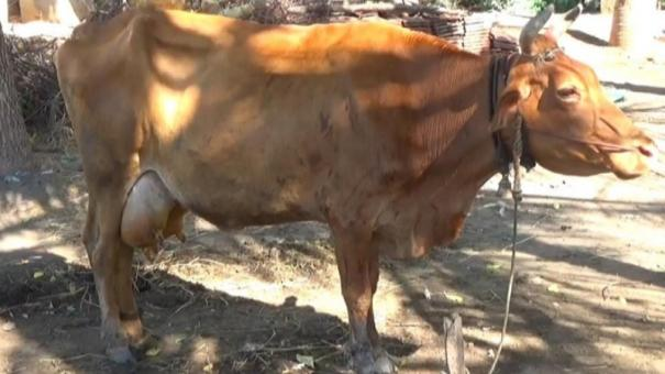 vital-infections-for-cattle